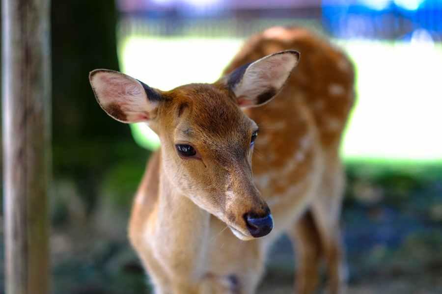 animal deer japan